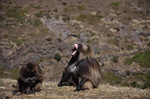 Glada Baboon smiling at the Simien Mountains
