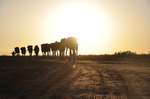 Camel caravans at Danakil depression